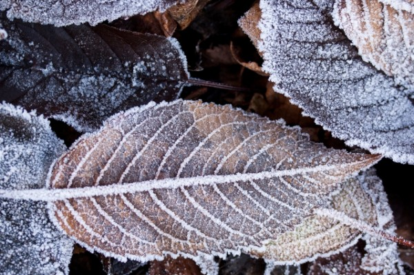 Ice-20Leaves-20snow-20Winter-ID8522-640x427
